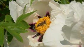 Biet samlar nektar på blommor lager videofilmer