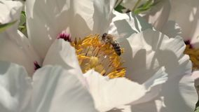 Biet samlar nektar på blommor arkivfilmer