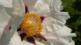 Biet samlar nektar på blommor stock video