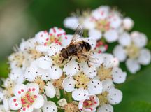 Biet samlar nektar på den blomstra busken av chokeberry Fotografering för Bildbyråer