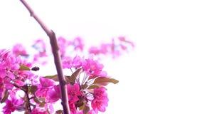 Biet samlar nektar på en blomningrosa färgfilial, närbilden, ultrarapid lager videofilmer