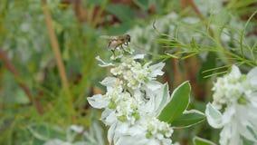 Biet samlar nektar på en vit blomma lager videofilmer