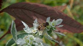 Biet samlar nektar på en vit blomma stock video
