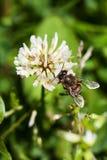 Biet samlar nektar på växt av släktet Trifolium, vit växt av släktet Trifolium, blommor, grönt gräs Arkivfoton