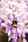 Biet samlar nektar på växt av släktet Trifolium, vit växt av släktet Trifolium, blommor, grönt gräs Royaltyfri Fotografi
