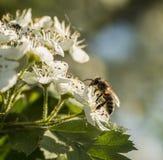 Biet samlar nektaret från blommorna av hagtorn royaltyfri fotografi