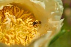Biet samlar pollen från blomman Royaltyfria Bilder