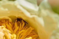 Biet samlar pollen från blomman Arkivbild