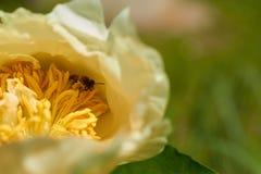 Biet samlar pollen från blomman Royaltyfri Foto