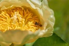 Biet samlar pollen från blomman Arkivfoton