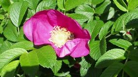 Biet samlar pollen från den rosa blomman av hunden steg stock video