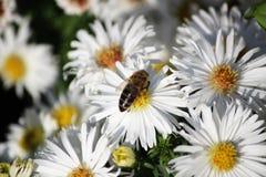 Biet samlar pollen från en vit blomma royaltyfria foton