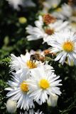 Biet samlar pollen från en vit blomma royaltyfria bilder