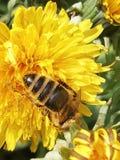 Biet samlar pollen från fjärilar royaltyfria foton