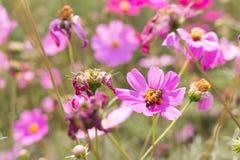 Biet samlar pollen från perenna aster för rosa blommor i gummina Royaltyfri Fotografi