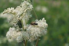 Biet samlar pollen på en blomma arkivbilder