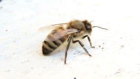 Biet sitter på bikupan stock video