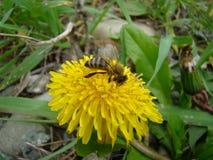Biet sitter på en blomma arkivbild