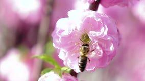 Biet som pollinerar aprikons, blomstrar i vår close upp långsam rörelse arkivfilmer