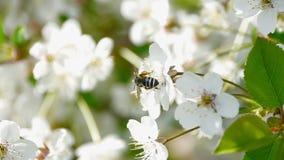 Biet som pollinerar blomningträd, fjädrar biet för honung för pollen för blommor för sommar för blommaultrarapidnaturen det härli arkivfilmer