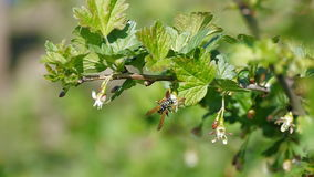 Biet som pollinerar blomningträd, fjädrar biet för honung för pollen för blommor för sommar för blommaultrarapidnaturen det härli stock video