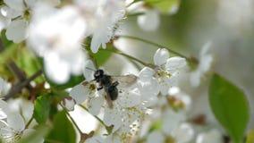 Biet som pollinerar blomningträd, fjädrar biet för honung för pollen för blommor för sommar för blommaultrarapidnaturen det härli lager videofilmer