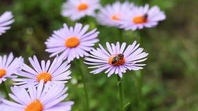 Biet som samlar pollenbiet på härliga rosa blommor, söker efter pollen lager videofilmer