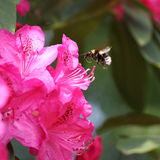 biet stapplar flyg Arkivfoto