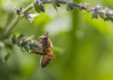 Biet vilar på den lösa blomman royaltyfria bilder