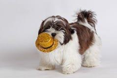Biewer与帽子的狗狗 库存照片