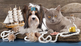 Biewer狗和英国猫 库存照片