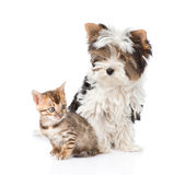 Biewer-aYorkshire terrier puppy and bengal kitten sitting together. isolated on white Stock Images