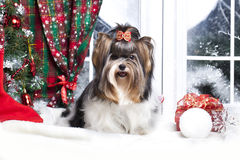 Biewer christmas dog. Biewer york terrier in christmas  decor Stock Photo