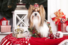 Biewer christmas dog. Biewer york terrier in christmas  decor Stock Image