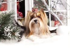 Biewer julhund fotografering för bildbyråer