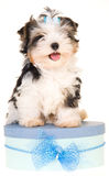 Biewer a la Pom Pon on blue box Stock Images