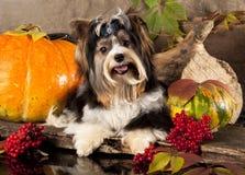 Biewer terrier dog Stock Photography