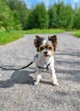 Biewer Terrier dog standing on walkway against green space background