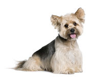 Biewer Terrier in front of white background Royalty Free Stock Photo