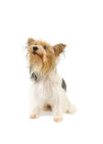 Biewer terrier isolated Stock Photos