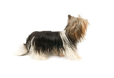 Biewer terrier isolated Royalty Free Stock Images