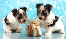 Biewer terrier puppies Stock Image