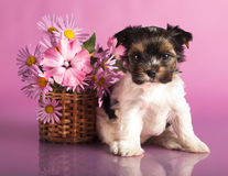 Biewer terrier puppies Royalty Free Stock Photos