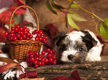 Biewer terrier puppies Royalty Free Stock Image