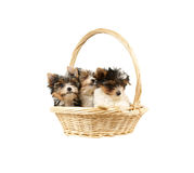 Biewer terrier puppies in basket Stock Photo