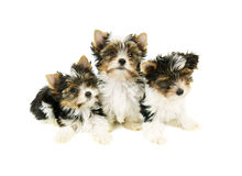 Biewer terrier puppies isolated Royalty Free Stock Images