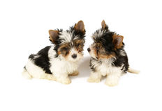Biewer terrier puppies isolated Royalty Free Stock Image