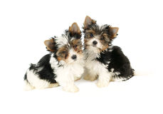 Biewer terrier puppies isolated Royalty Free Stock Photo