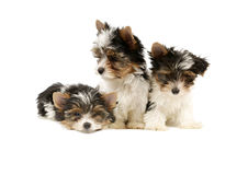 Biewer terrier puppies isolated Stock Photo