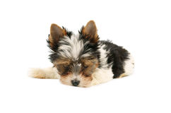 Biewer terrier puppy isolated Royalty Free Stock Images